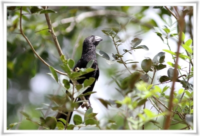 Groove-billed Ani (Crotophaga sulcirostris) ©Flickr Ross Tsai