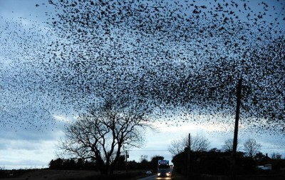 Murmuration by Dailymail