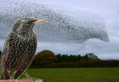 Starling and Murmeration (Fair Use credit  -    Allaboutbirds.Net
