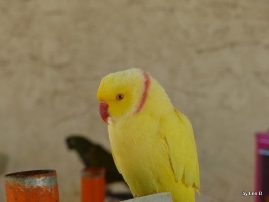 Ring-necked Parakeet (I Think)