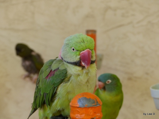 Indian Ring Neck Parakeet