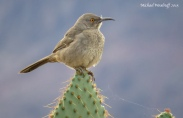 Curve-billed Thrasher (Toxostoma curvirostre) by Michael Woodruff