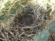 Curve-billed Thrasher (Toxostoma curvirostre) Chicks ©WikiC