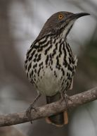 Long-billed Thrasher (Toxostoma longirostre) ©WikiC