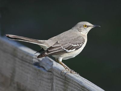 Northern Mockingbird (Mimus polyglottos) At Sunset Beach NC ©WikiC