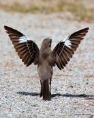 Northern Mockingbird (Mimus polyglottos) Displaying ©WikiC