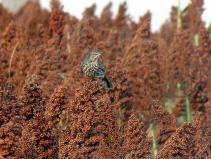 Sage Thrasher (Oreoscoptes montanus) ©Flickr Nick Varvel