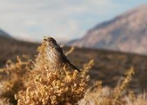Sage Thrasher (Oreoscoptes montanus) ©Flickr Kathy & sam