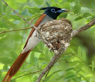 Amur Paradise Flycatcher (Terpsiphone incei) ©WikiC
