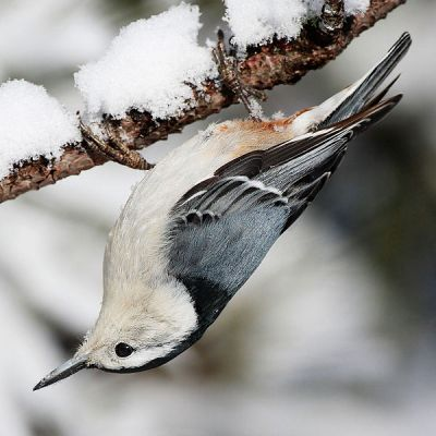 White-breasted Nuthatch (Sitta carolinensis) ©WikiC