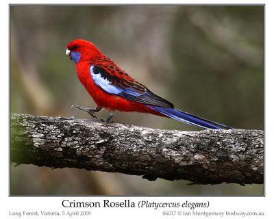 Crimson Rosella (Platycercus elegans) by Ian