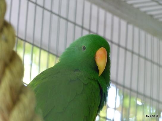 Eclectus Parrot (Eclectus roratus) Female