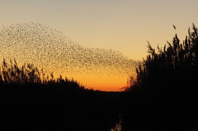 Starling Murmuration ©Flickr Donald Macauley