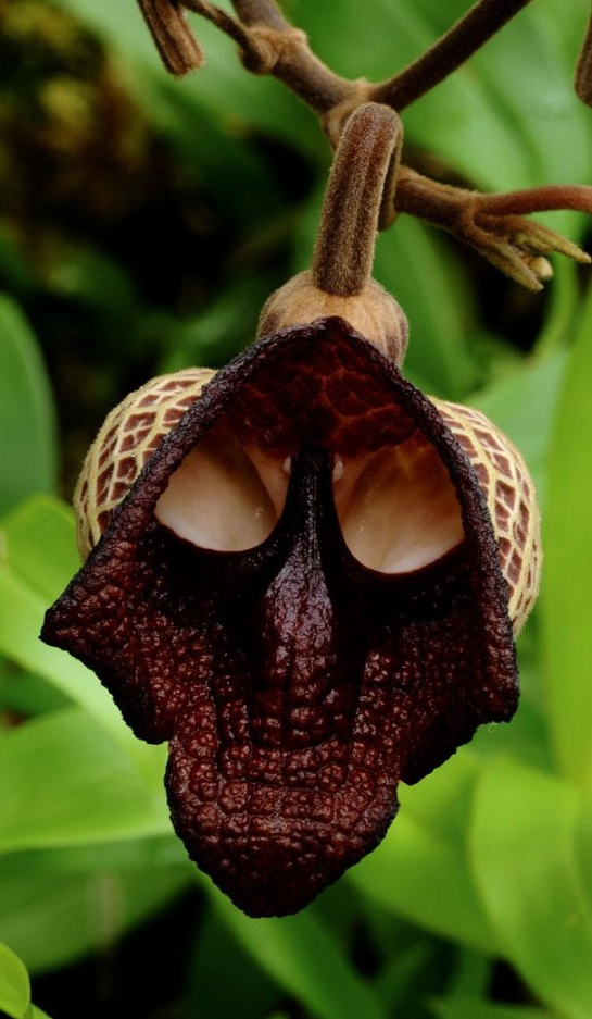The Darth Vader (Aristolochia Salvadorensis)