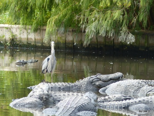1-Gatorland by Lee 12-01-2015 (173)