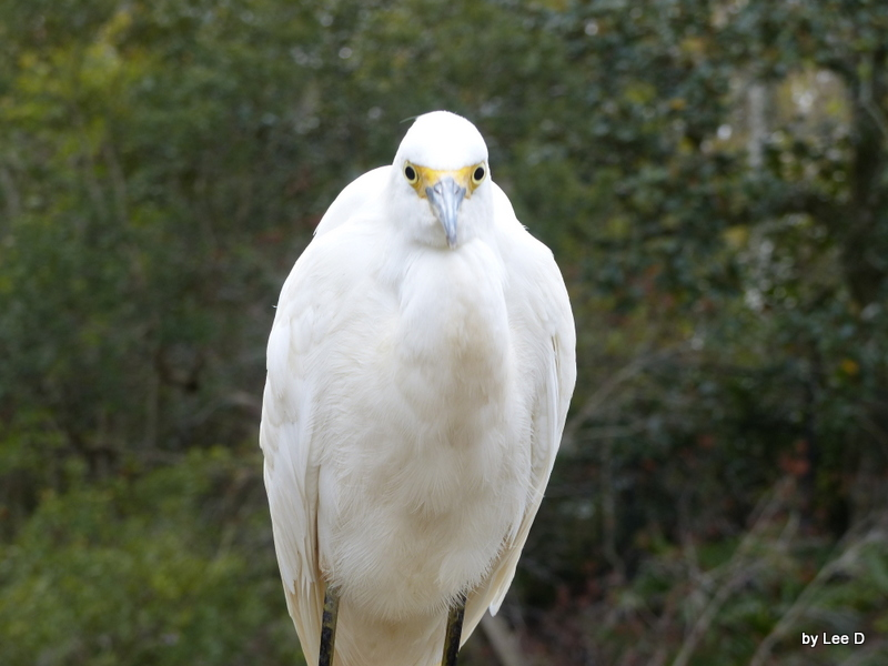 Snowy Egret stepped so close it blurred my shot.