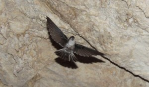Atiu Swiftlet (Aerodramus sawtelli a.k.a Kopeka)