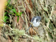 Blue-grey Gnatcatcher preening at Circle B by Lee