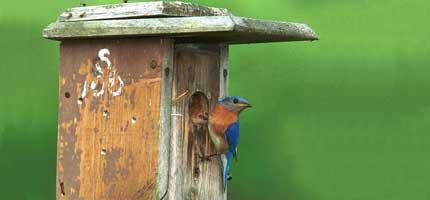 Eastern Bluebird (by www.portal.state.pa.us)