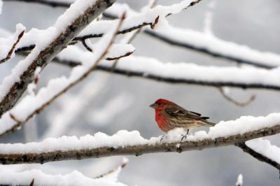 House Finch in Snow ©WikiC