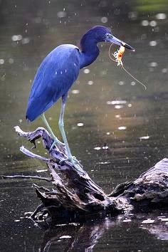 Little Blue Heron with cache