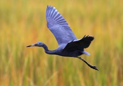 Little Blue in Flight