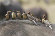 Yellow-billed Oxpecker (Buphagus africanus) - Family photo