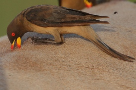 Yellow-billed Oxpecker (Buphagus africanus) ©©