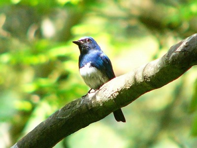 Blue-and-white Flycatcher (Cyanoptila cyanomelana) ©WikiC