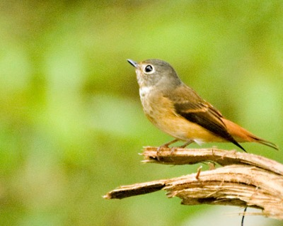 Ferruginous Flycatcher (Muscicapa ferruginea) by MAMuin