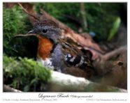 Australian Logrunner (Orthonyx temminckii) by Ian
