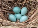 Common Starling (Sturnus vulgaris) Eggs ©WikiC