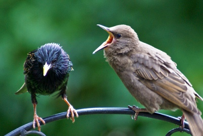 Common Starling (Sturnus vulgaris) with hungry young ©©