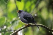 Black Solitaire (Entomodestes coracinus) ©WikiC