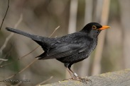 Common Blackbird (Turdus merula) Flickr Francisco Montero