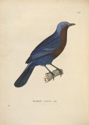 Javan Cochoa (Cochoa azurea)) ©FLickr Biodiversity Heritage L