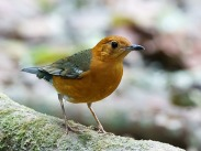 Orange-headed Thrush (Geokichla citrina) ©Flick David Cook
