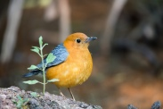 Orange-headed Thrush (Geokichla citrina) ©Khao Yai NP