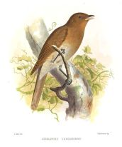 Rufous-brown Solitaire (Cichlopsis leucogenys) ©WikiC