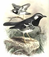 Slaty-backed Thrush (Geokichla schistacea) ©Drawing WikiC