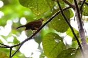 Sulawesi Thrush (Cataponera turdoides) ©Flickr Francesco Veronesi