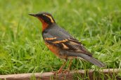 Varied Thrush (Ixoreus naevius) ©Flickr Aaron Malzlish
