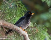 Yellow-legged Thrush (Turdus flavipes) ©WikiC