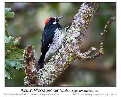 Acorn Woodpecker (Melanerpes formicivorus) by Ian