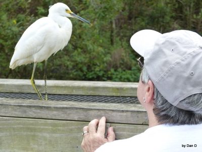 Snowy Egret and Lee Gatorland by Dan