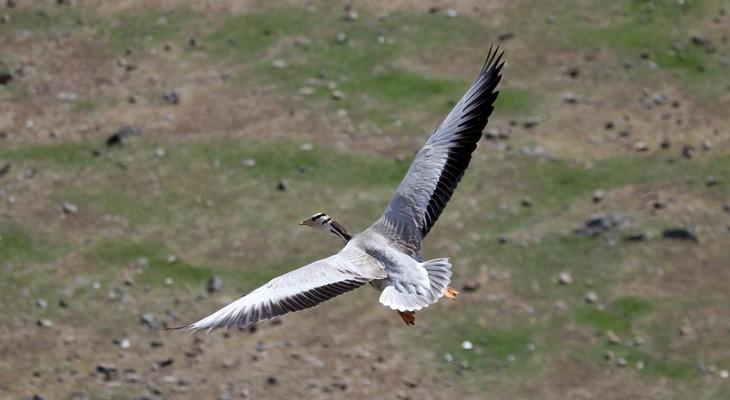 Bar-headed Goose Flying