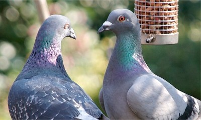 Rock Dove (Columba livia) ©Flickr Edward Townend