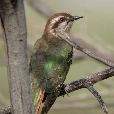 Horsfield's Bronze Cuckoo (Chrysococcyx basalis) by Tom Tarrant