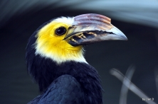 Hornbill by Dan
