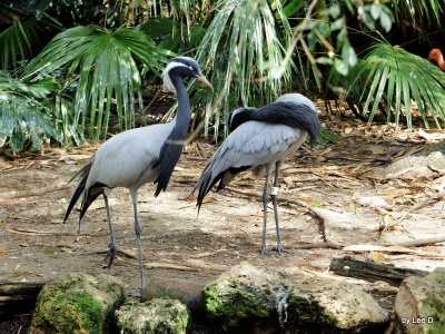Demoiselle Crane Lowry Park Zoo 12-31-15 by Lee